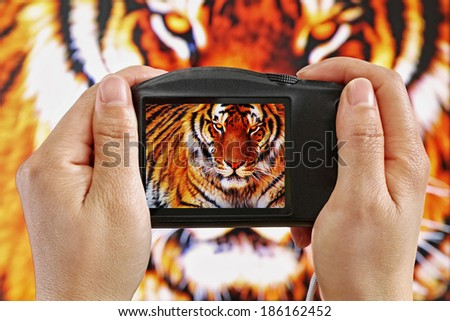Taking a Photograph of a Tiger - stock photo