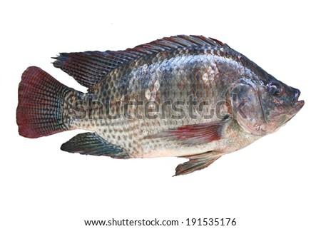 Talaphia / Tilapia fish on white background. - stock photo