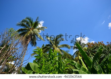 tall coconut tree and some other trees with blue sky in background