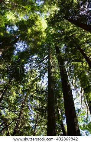 Tall conifers  in the Grove of the Patriarchs, Mount Rainier National Park - stock photo