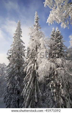 Tall fir trees in winter at Urals, Russia - stock photo