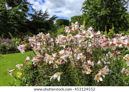 Tall flowering lily plants in a herbaceous border of an English garden. - stock photo