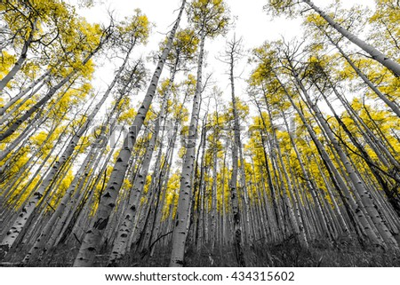 Tall forest of golden aspen trees in black and white landscape - stock photo