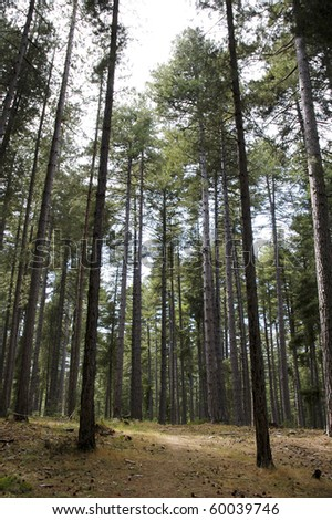 tall forest pine trees - stock photo