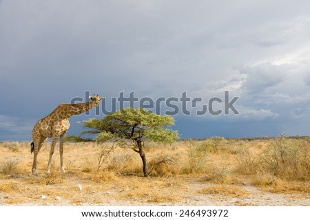 tall giraffe standing beside a small tree in the bush of Etosha National Park before a thunderstorm, Namibia, Africa
