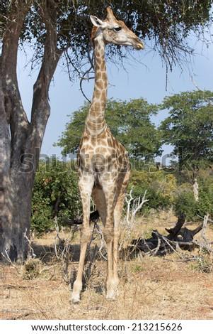 tall giraffe standing under a tree in Chobe National Park, Botswana, Africa - stock photo