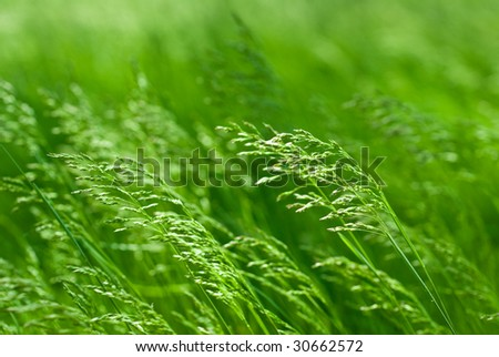 Tall grass whisking in the wind - stock photo