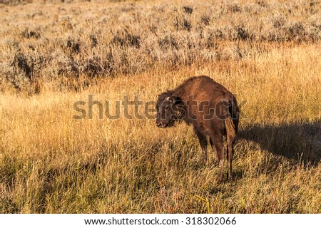Tall grasses reach almost to the ears on this juvenile bison or buffalo in a national park in the fall - stock photo