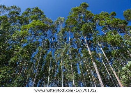 Tall Gum Trees Blue Tall gum trees growing into the blue sky - stock photo