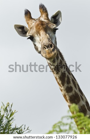 Tall Inquisitive giraffe looking over some trees at passers by - stock photo