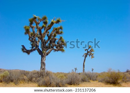 Tall Joshua Trees stand above the sand floor of the Mojave Desert in southern California.                      - stock photo