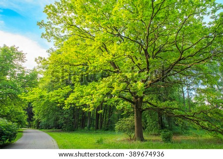 Tall Oak Tree in Summer Park Forest - stock photo