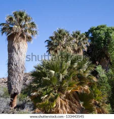 Tall palms and cottonwoods at Cottonwood Springs oasis in Joshua Tree National Park in California