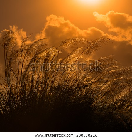 Tall pampas against bright summer's sunlight Tobago square - stock photo
