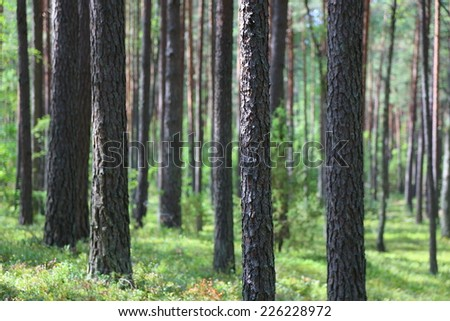 Tall pine trees are directed towards the sky in the forest - stock photo