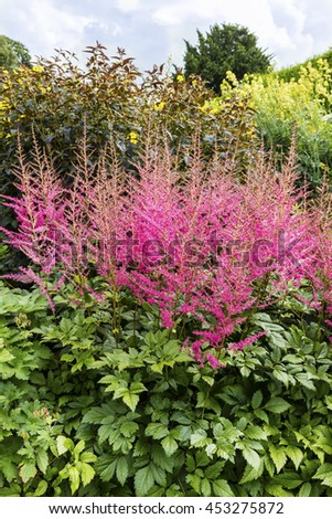Tall pink Astilbe flowering plant in a garden. - stock photo