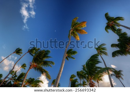 Tall plush palm trees against a bright blue sky on a windy day - stock photo