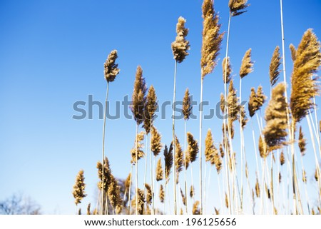 Tall Reeds against a Bright Blue Sky - stock photo