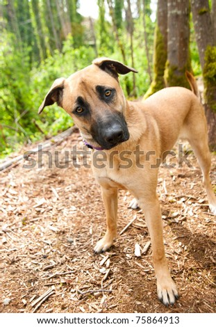 Tall Shepherd Mix Dog Staring - stock photo