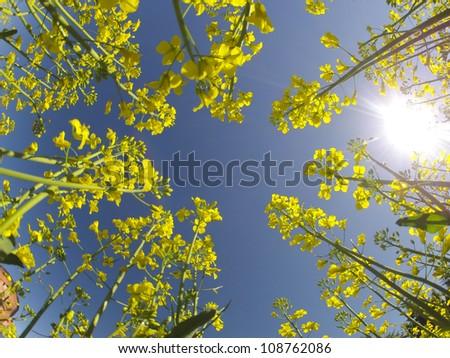 Tall stalks of blooming canola plants reaching toward the sun - stock photo