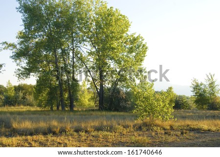 Tall summer cottonwoods in golden afternoon light on the Colorado Prairie - stock photo