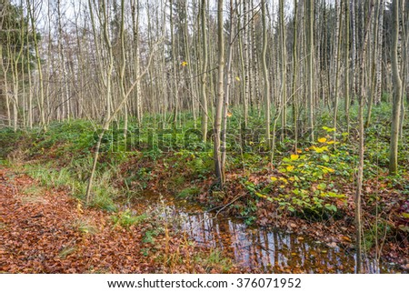 Tall, thin and straight parallel up growing trees and a small creek in a forest. It is autumn, the trees are bare and the ground is covered with orange and brown fallen leaves. - stock photo