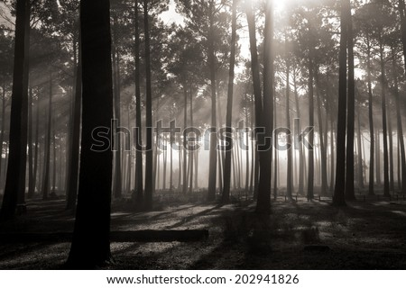 Tall Tree Forest filtered light