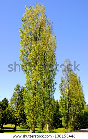 tall trees in a golf course at springtime - stock photo