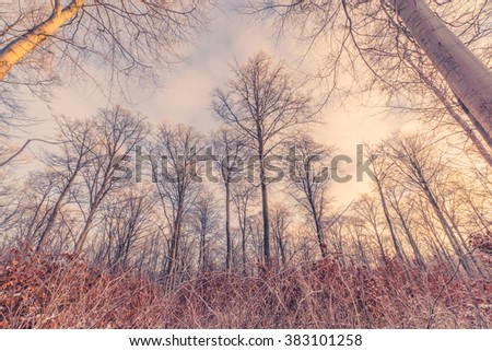 Tall trees in the forest in the winter sunrise