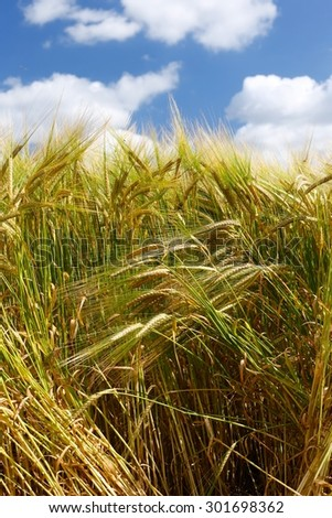 Tall Wheat/Barley crop plants growing in English countryside. Beautiful summer blue sky, bright white soft clouds, natural fine plant detail, patterns, texture, vibrant bright green, blue & browns - stock photo