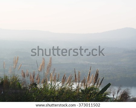 tall wild light brown yellow grass flowers in the wind with a hill covered with green trees forest in the background under natural sunlight on a sunny afternoon in nature in national park in THAILAND - stock photo