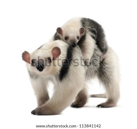 Tamandua, Tamandua tetradactyla mother, 3 years old, and child, 3 months old, walking against white background - stock photo