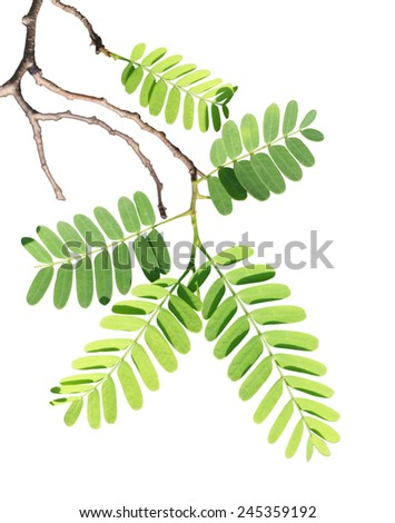 Tamarind leaf on branch isolated over white background - stock photo