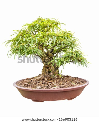 tamarind tree as bonsai isolated on white background