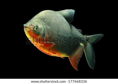 Tambaqui fish isolated on black, studio aquarium shot.  - stock photo