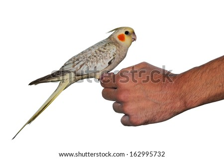 Tame bird pet cockatiel parrot sitting on a hand isolated on white - stock photo