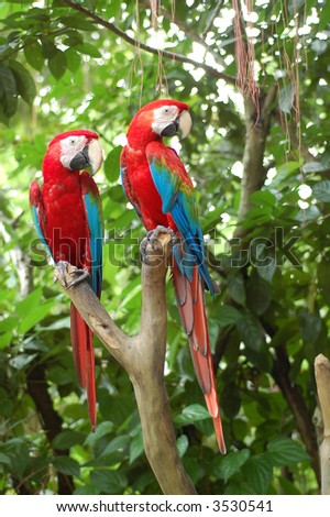 tamed big red parrot pair