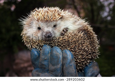 Tamed hedgehog in a coil on the hand of man - stock photo