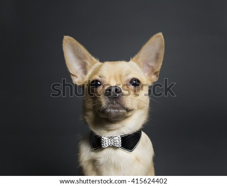 tan and fawn chihuahua wearing tuxedo collar on gray background