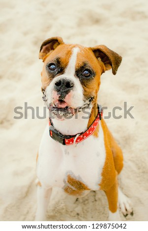 Tan and white Boxer sitting on beach with sand on face - stock photo