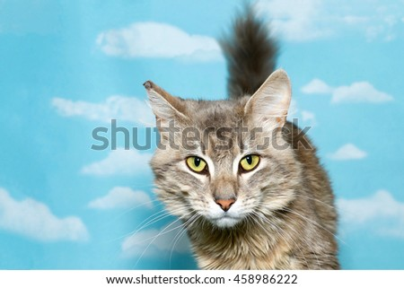 Tan and white long haired tabby looking at viewer facing forward, tail up behind cat, blue sky background with clouds. Copy space.