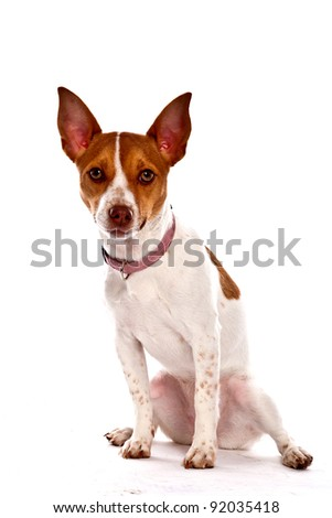 Tan and White small Dog on white background looking directly into the camera