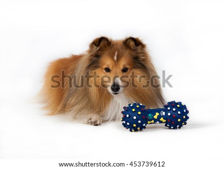Tan / white Shetland Sheepdog lies on the floor next to the blue toy on a white background - stock photo