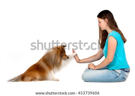 Tan / white Shetland Sheepdog takes the front paw to the girl. A dog greets a girl on a white background. - stock photo