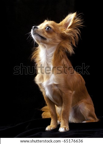Tan with white chihuahua dog sitting on black background looking up - stock photo