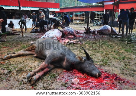 TANA TORAJA, INDONESIA - Aug, 10: Dead Buffalo lay on the floor, after its sacrifice during a funeral ceremony on August, 10, 2012. TANA TORAJA, INDONESIA - stock photo
