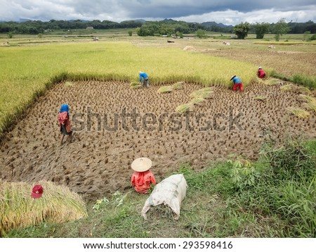 TANA TORAJA, INDONESIA - AUGUST 9, 2013: Unidentified people at the rice field at Tana Toraja, Indonesia. Torajan economy was based on agriculture, with cultivated wet rice in terraced fields.