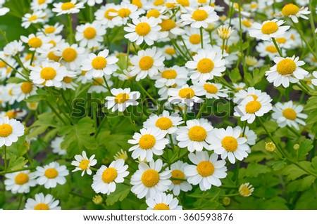 Tanacetum parthenium (feverfew) flowers in a garden - stock photo