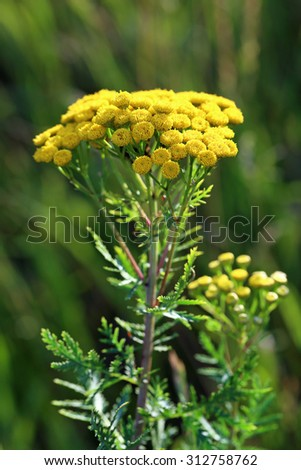 Tanacetum. Yellow flowers of a plant close up - stock photo