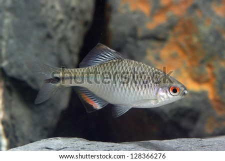 Corydoras polystictus searching food stock photo 581597251 for Bitterlinge fische